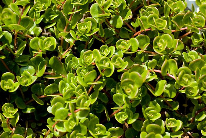 Purslane Weeds