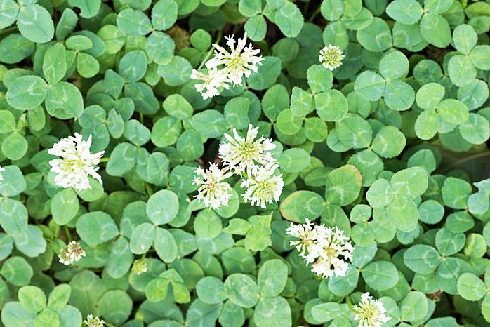 Clover Weeds