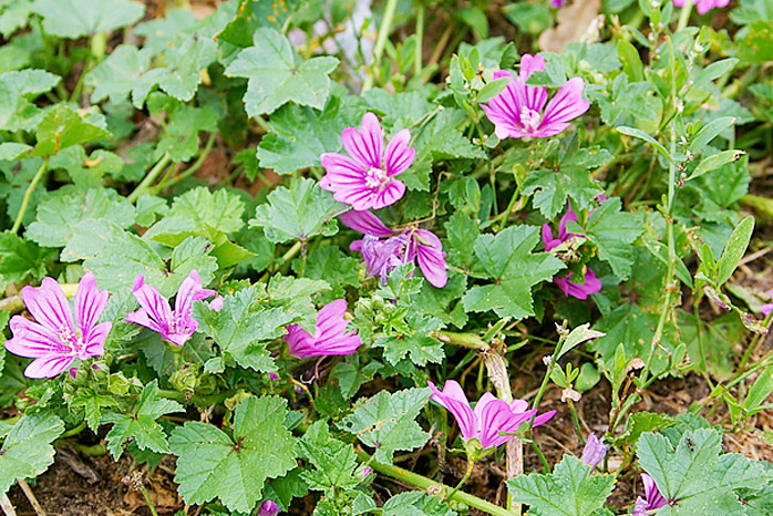 Common Mallow Weed