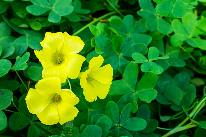 Yellow Wood Sorrel Weed