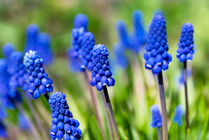 Muscari or Grape Hyacinth
